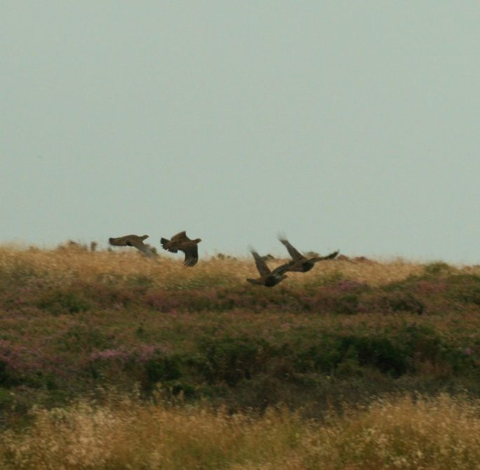 Grouse flying